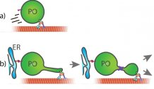 A role for MIRO1 in motility and membrane dynamics of peroxisomes